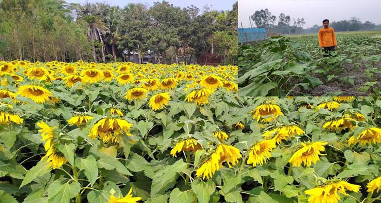 Joypurhat growers making profit thru' Sunflower cultivation